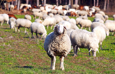 flock of sheep grazing, one sheep looking to camera