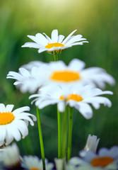 Macro shot of big daisies. Flowers background.