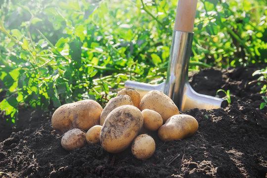 organic homemade vegetables harvest potatoes. Selective focus.