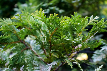 Fir plant, close-up of twigs and seeds