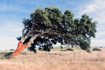 Cork oak tree (Quercus suber), Sardinia, Italy, Europe