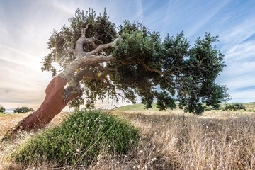 Cork oak tree (Quercus suber) in morning sun, Sardinia Italy, Europe