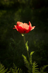 close up view of nice red poppy on foliage  background