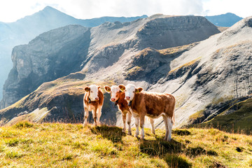 young calves on an alp in the swiss mountains, switzerland