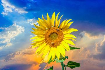 wesp in bloomin sun flower