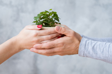 Plant protection concept. Mans and womans hands holding potted houseplant.