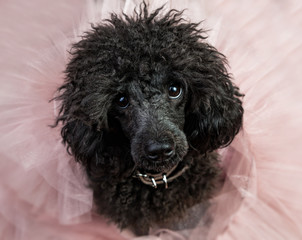 black poodle (dog) in a bunch of powdery pink tulle