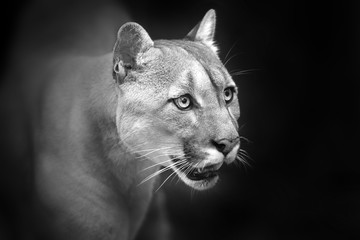Photo sur Toile Panthère Puma close up portrait with beautiful eyes isolated on black background. Black and white