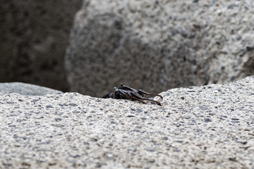 Single black crab crawling on the edge of a cement block
