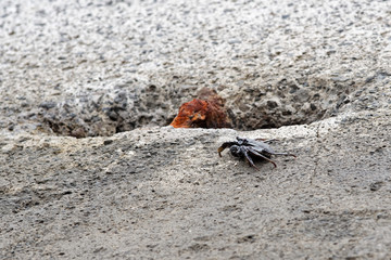 Single black crab on a cement block
