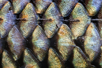 Fish scales pattern skin texture background macro view. Geometric pattern photo wild carp with lateral line. Selective focus, shallow depth field.