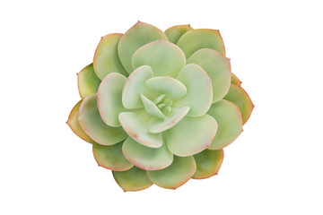Echeveria, Succulent Plant Isolated on White Background, Top View