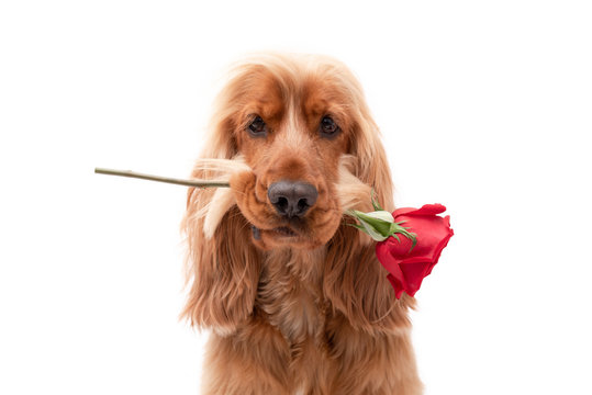 Cocker spaniel dog valentine with rose on isolated background