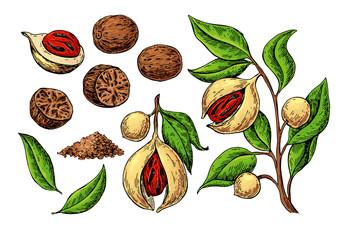 Fototapeta Nutmeg spice vector drawing. Ground seasoning nut sketch. Dried seeds and fresh mace fruits obraz