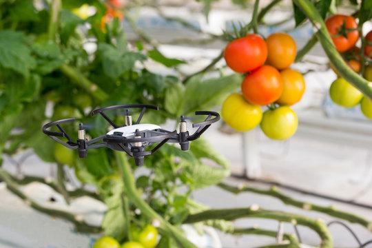 Mini dron volando en un invernadero con cultivo de tomate
