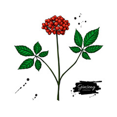 Ginseng berry vector drawing. Medical plant sketch.
