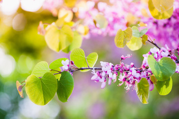 Wall Mural - Pink Cercis siliquastrum flowers close-up