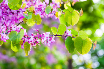 Wall Mural - Pink Cercis siliquastrum flowers close up