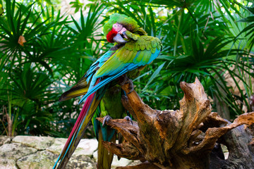 Green parrot Scarlet Macaw, Ara macao, bird sitting on the pal tree trunk, Mexico. Wildlife scene from tropical forest.