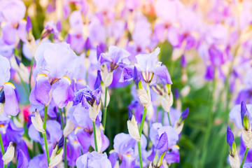 Wall Mural - Purple Iris flowers at summer day, close-up