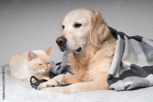 Young golden retriever dog and cute mixed breed ginger cat under