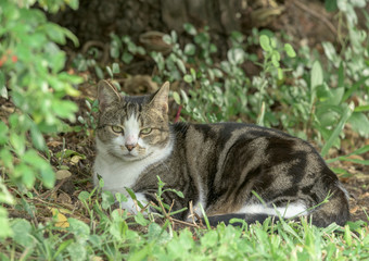 Gray and white tabby cat lying among green leaves