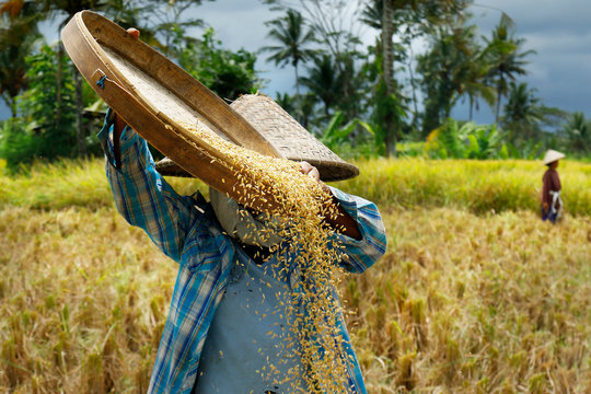 Worker harvesting rice in rice field
