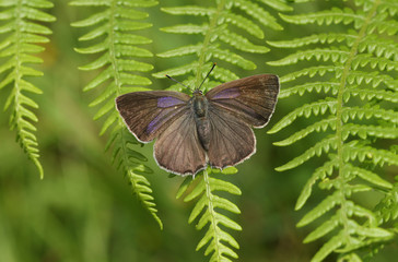 A beautiful Purple Hairstreak Butterfly (Favonius quercus) perched on a bracken leaf.