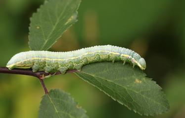 A Pale Prominent Moth Caterpillar (Pterostoma palpina) feeding on a leaf.