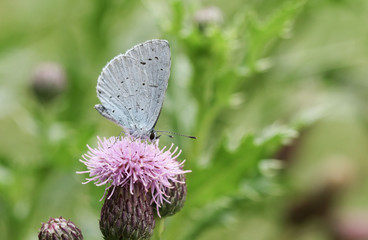 A Holly blue Butterfly (Celastrina argiolus) nectaring on a thistle flower.