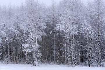 Winter landscape - frosty trees in the forest in the sunny morning Tranquil landscape of forest nature covered with snow
