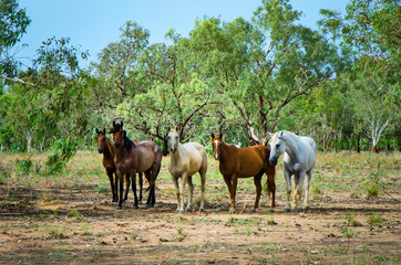 A mob of horses loose in the Outback
