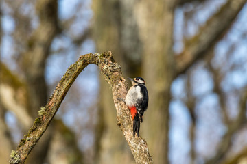 Beautiful Great spotted woodpecker sitting on a branch in the forest
