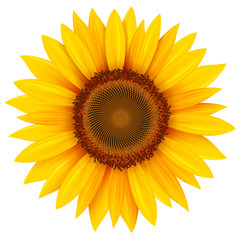 Sunflower isolated, vector summer flower.