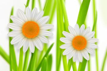 Flower background, green grass whith white daisy flower spring background.
