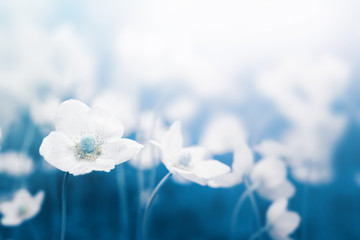 White flowers blossoming. Beautiful nature floral pastel color  background with copy space