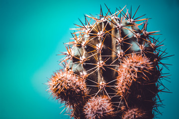 Green cactus with long prickles on a blue, turquoise background. Desert plant. The bright picture with place for an inscription