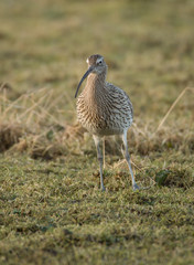 Portrait of a Curlew on Grassland