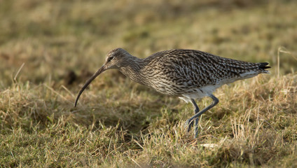 Curlew searching for food on Grassland