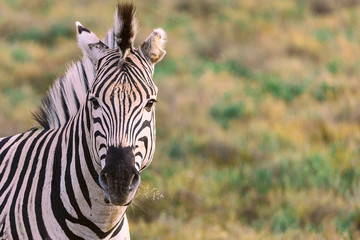 Chewing zebra portrait with blured background in National Park in South Africa