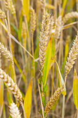 background of ripe corn field in golden colors