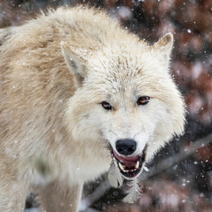 angry wild wolf with feathers in teeth in natural habitat in winter