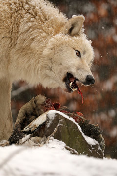 wild wolf animal eating bird in natural habitat in winter