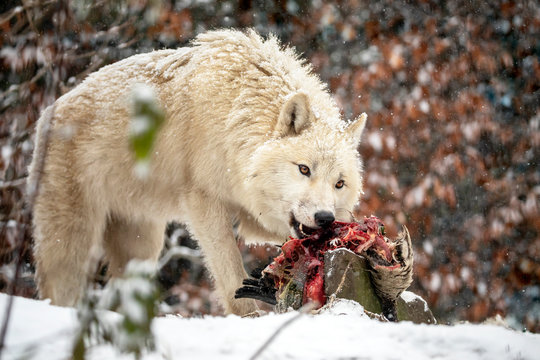 wild wolf animal eating meat in natural habitat in winter