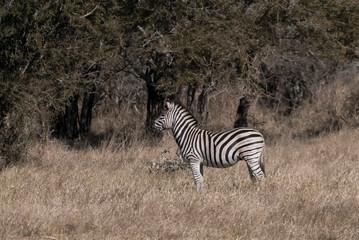 Aluminium Prints Zebra Herd of zebras in the African savannah