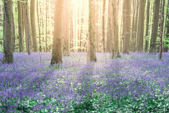 Hallerbos, bluebells enchanted forest in Belgium at springtime