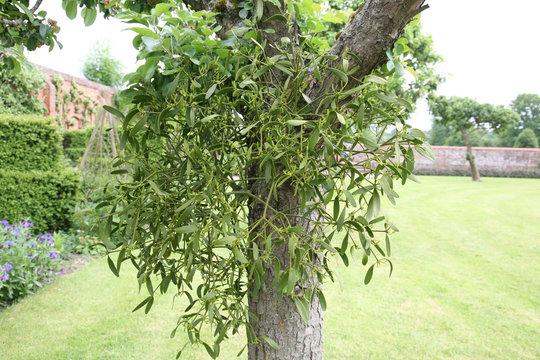 Mistletoe growing naturally on a tree trunk in an English garden