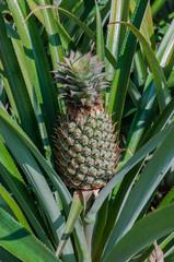 Ananas-Frucht an der Pflanze