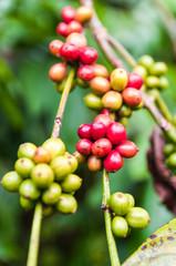 Kaffeeplanze mit Kaffeebohnen
