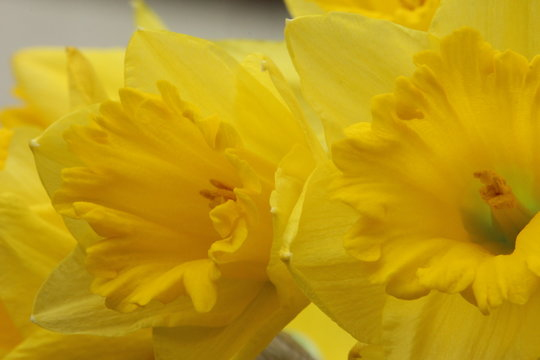 A close up photograph of a daffodil, the national flower of Wales. St David's Day flower.